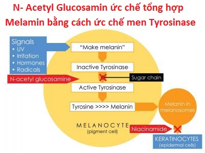 "tim-hieu-""N-acetyl""-glucosamine-la-gi"